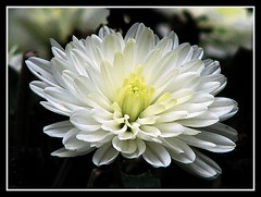 Nature Dressed In White !!! (ruthalice43) Tags: winter flower nature mum frame chrysanthemum ruthalice43