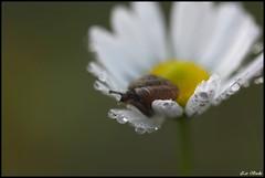 Petali animati (Ziobudu) Tags: macro verde drops bokeh snail brina natura fiore lumaca animali margherita gocce millefiori canon100macro flickraward canon40d goldstaraward ziobudu