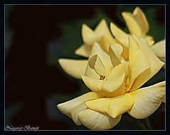 Golden Yellow Rose (Nagaraj B R) Tags: flowers india rose yellow canon golden bangalore karnataka lalbagh canon70300isusm 450d