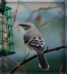 Mockingbird in the River Birch (mightyquinninwky) Tags: tree bird nature fauna rural geotagged countryside flora backyard dof feeding bokeh farm kentucky branches country birdfeeder feeder farmland depthoffield ave greatshot birch limbs seedpods invite backyardbird picnik suet smalltown naturesbest invited westernkentucky animalphotography wonderfulnature naturesart riverbirch birdfeed unioncountykentucky ilovebirds backyardnature backyardfauna totalphoto wingedwonders bokehlicious avianphotography morganfieldkentucky nightinggale backyardflora freenature thenaturegroup worldofanimals flickrgreen geo:lat=37693134 agriculturalcommunity ilovemypics birdsinsideandoutside gemsofnature screamofthephotographer worldnaturewildlifecloseup americanmockingbird thecommonwealthofkentucky thecelebrationof~life~ suetholder thebluegrass geo:lon=87905514 bestofformyspacestation