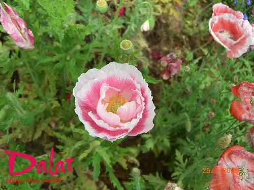 Hoa Colico trang' hon`g by you.