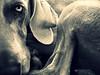 p i e c e s (saikiishiki) Tags: portrait abstract love snuggle soft pieces adorable velvet explore weimaraner kawaii cuddle bundle seen uncropped 2009 compact abstrakt velvety omoshiroi 552 weim mukha 20f thelittledoglaughed 52weeksfordogs 52weeksofmukha