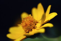 yellow light (carya) Tags: light sunflower thankful yellowlight carya bokehlicious kristianongpinoy