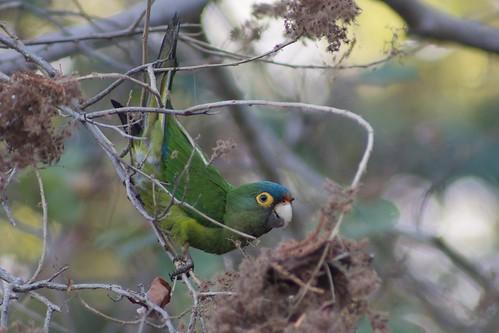 Orange Fronted Parrot