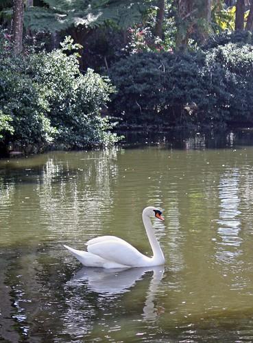 swan photo by Adrienne Zwart