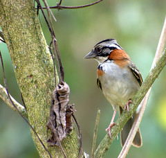 TICO-TICO (Zonotrichia capensis ) (Dario Sanches) Tags: bird nature animal brasil natureza ave florestal paulo sao passaro horto ticotico rufouscollaredsparrow zonotrichiacapensis dariosanches dariosan