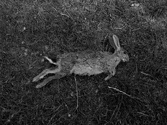 Hare (monkeymillions) Tags: west dead death sussex hare corpse fifteen devilsdyke
