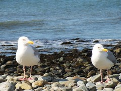 SS851015 (heleng42) Tags: sea seagulls wales rocks pebbles