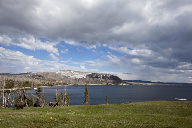 Bison @ Yellowstone Lake