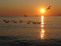 ¡Hace calor! (Pierre♪ à ♪VanCouver) Tags: sunset pordosol vancouver mar geese tramonto playa englishbay wreckbeach puestadelsol georgiastrait clothingoptional