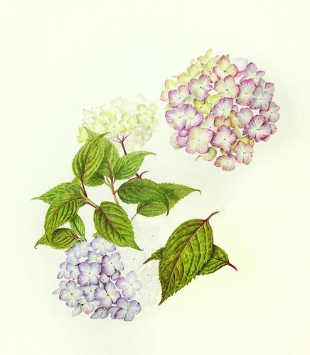 Hydrangea 14a