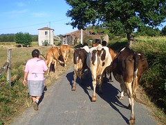Traffic (Cows) Jam - Camino de Santiago