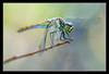 Common Darter Dragonfly (matt :-)) Tags: macro nature bug insect dragonfly natura micro common mattia soe insetto darter libellula libellulidae naturesfinest blueribbonwinner sympetrum 105mmf28dmicro supershot fonscolombii sympetrumfonscolombii abigfave commondarterdragonfly nikond80 naturewatcher natureoutpost consonni mattiaconsonni