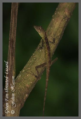 Green Fan-throated Lizard (Ptyctolaemus gularis)