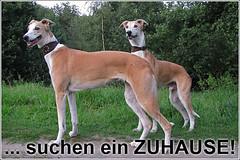 Windhunde suchen ein neues Zuhause
