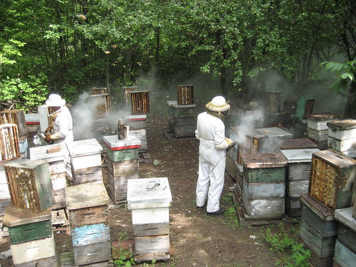 Harvesting honey in Ontario, McCracken's beeyard in Campbells Honey, Smojoe social media marketing, Toronto, Ontario, Pure Canadian Honey
