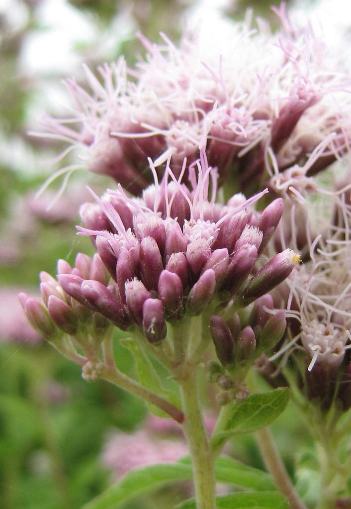 Photo: Eupatorium cannabinum