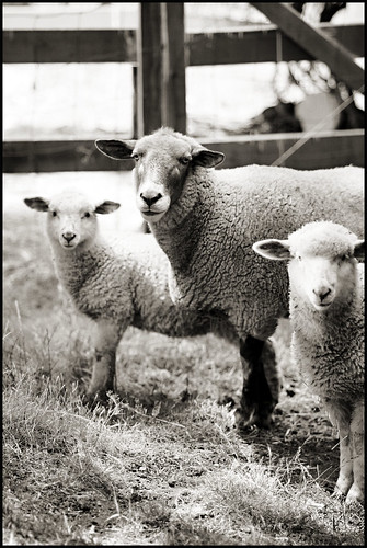 Sheep Just Never Stop Being Beautiful