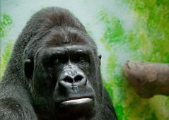 il gorilla che la sapeva lunga - zoo di anversa