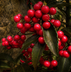 Perlas Rojas (Martha MGR) Tags: flowers red flores textura nature rouge berries natureza flor vermelho vernissage rosso 1000views mmgr frutinhas vosplusbellesphotos marthamgr musicsbest reservaespecial 4m´sphotographicdream 3msroyalflowers 2m´sroyalstation marthamariagrabnerraymundo marthamgraymundo