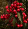 Perlas Rojas (MarthaMGR ❀I´m back again❀) Tags: flowers red flores textura nature rouge berries natureza flor vermelho vernissage rosso 1000views mmgr frutinhas vosplusbellesphotos marthamgr musicsbest reservaespecial 4m´sphotographicdream 3msroyalflowers 2m´sroyalstation marthamariagrabnerraymundo marthamgraymundo