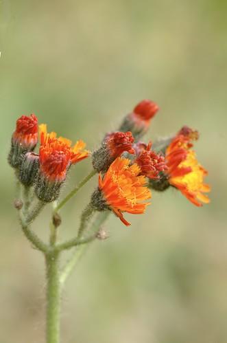 Hieracium aurantiacum | Oranje havikskruid - Orange hawkweed