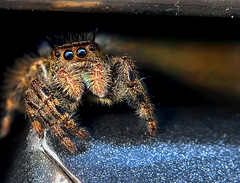My Pal ~ Spike (Uncle Phooey) Tags: bug bigeyes spider arachnid explore friendly spike fumanchu jumpingspider cooldude mypal salticidae flattophaircut unclephooey ridingaroundonmycar
