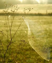 web in the weeds (artistgal) Tags: morning light spider weeds dof bokeh web gamewinner herowinner ultraherowinner thepinnaclehof kanchenjungachallengewinner tphofweek110