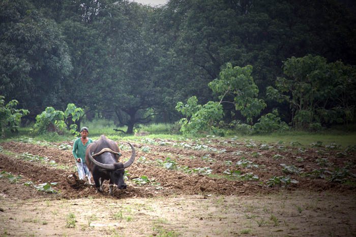 Carabao farming the Pumpkins