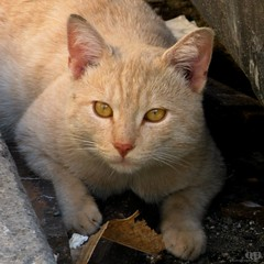Alley Cat (Osvaldo_Zoom) Tags: autumn portrait italy leave animal yellow cat eyes garbagecan randagio vicolo gatto calabria alleycat strut casanova straycat fico
