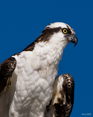 Seahawk Profile, Osprey (Nick Chill Photography) Tags: california portrait bird eye nature animal fauna photography nikon image sandiego wildlife stock beak feathers sigma headshot vision raptor oceanbeach perched predator birdseyeview osprey animalia avian hunt birdofprey pandionhaliaetus patience fisheagle dx fishhawk seahawk naturesfinest d90 sandiegoriver avianexcellence 150500 nickchill