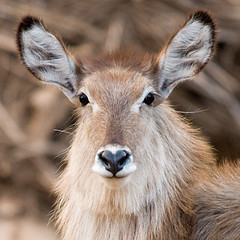 Bad Hair Day (Marc_Scott-Parkin) Tags: kruger waterbuck potofgold