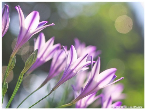 Spring Star 110604 #07