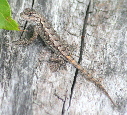 northern-fence lizard