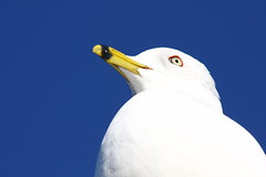 """""""Snow"""" (Bojorchess) Tags: sky usa snow bird blanco seagull nieve peak kirkland gaviota bojorchess"""