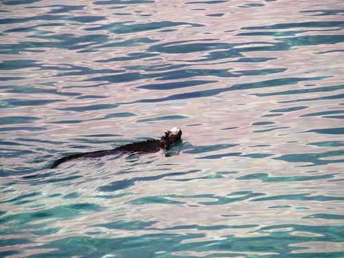 Iguana nadando, marina obvio