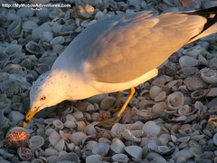 IMG_0207-ring-billed-gull-tasty-scallop