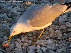 IMG_0207-ring-billed-gull-tasty-scallop