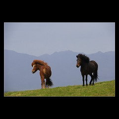 Horses In the Wind (boris verseghy) Tags: horses animals iceland horsesrule