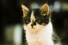 Shadow Portrait, Film effect. (Fieldy.) Tags: cat kitten kitty miow meow chat neko gato mace katu kот mačka котка gat kočka kat kass kissa katze γάτα macska köttur gatto kaķis katė мачка qattus katt kot pisică кот кіт cath קאַץ կատու pişik বিড়াল 猫 貓 კატა બિલાડી बिल्ली miv ネコ ಬೆಕ್ಕು мысық ឆ្មា 고양이 പൂച്ച मांजर муур ကြောင် බළලා гурба பூனை పిల్లి แมว بلی mushuk conmèo fieldym fieldy matthewfield matthewfieldphotography