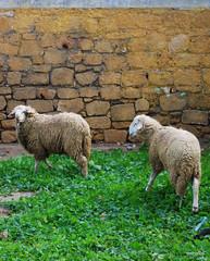 Casablanca, Morocco (Maya Haddad) Tags: sheep morocco casablanca