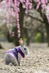 fukusuke-pon  (fukusuke-pon ) Tags: flower rabbit bunny japan plum   osaka  ikeda