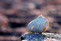 white shell (@Doug88888) Tags: pictures uk england white art beach digital canon geotagged eos photo image bokeh awesome united picture shell gimp kingdom images best photograph excellent buy february dslr 2009 purchase chesil feb25 feb09 400d feb2009 hbwe doug88888