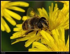 Libando (Warper4) Tags: naturaleza flores flower macro nature insect photo reflex flor olympus mosca insecto uro supershot cernidora e520 warper4 sigma105mmf28exdgmacrofourthirds