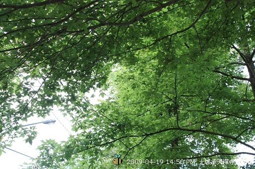 09.04.19 一探土城承天寺桐花花況 (24)