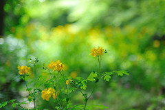 Wildflower bokeh (myu-myu) Tags: flower yellow japan spring nikon bokeh wildflower soe chelidoniummajus flowerotica platinumphoto d700 excellentsflowers  bokehphotography