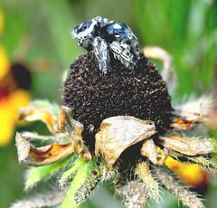 Jumping Spider (jwinfred) Tags: nature mississippi lens nikon delta tamron 90mm greenville arthropods d300