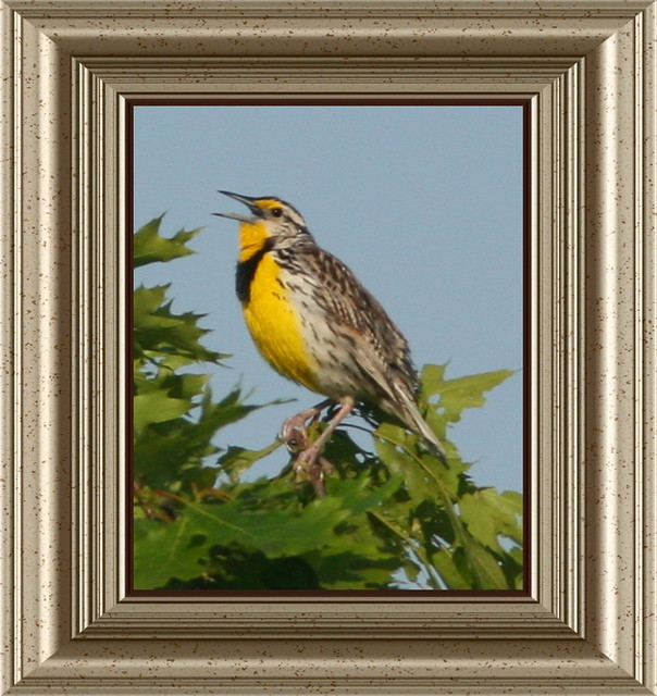Meadowlark Framed 20090605