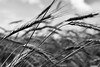 my colored world fades to gray (nosha) Tags: summer sky bw macro nature beautiful beauty field june landscape newjersey nikon outdoor wheat 28mm grain apocalypse nj spot f56 2009 lightroom flowersplants blackmagic nikond200 nosha 0ev 1350sec 1350secatf56 june2009 0mmf0