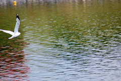 (arjang10) Tags: lake canada reflection bird colors nikon montreal july